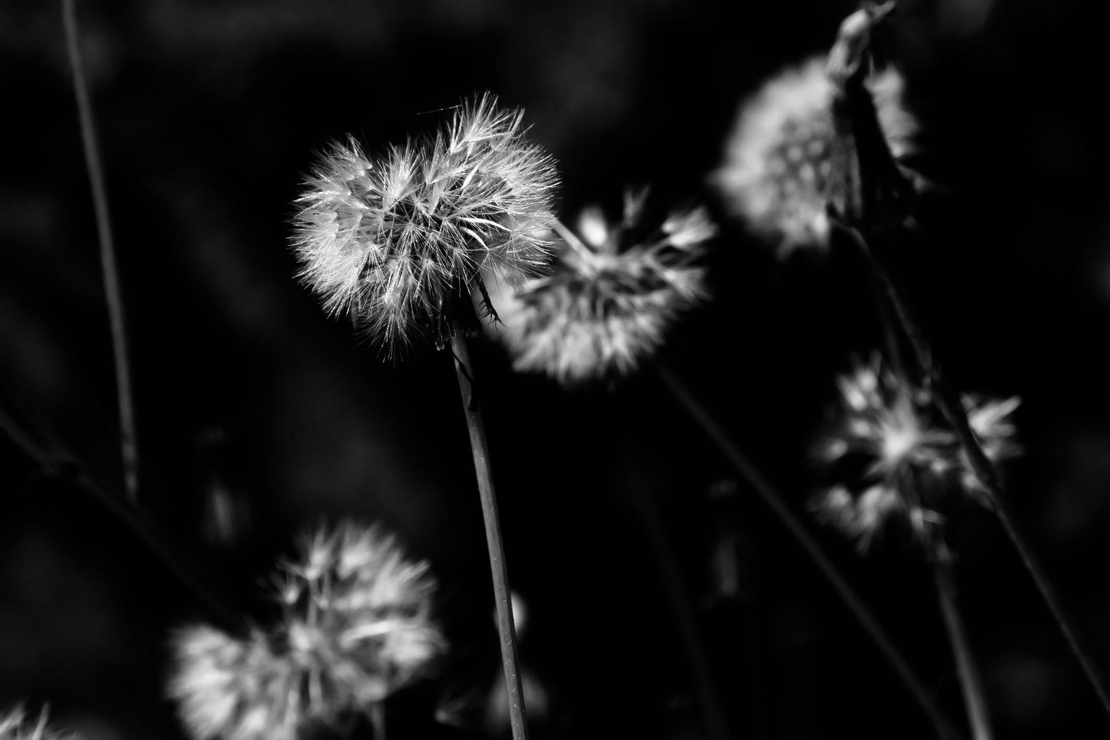 dandelion-in-b-w